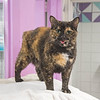 """211006  Pet of the Week<br /> James Neiss/staff photographer <br /> Sanborn, NY - Mariah is a special kitty that's looking for her forever home. As the newspaper Pet of the Week, the adoption fee is half off. <br /> <br /> Contact the SPCA at (716) 731-4368 or  <a href=""""http://www.niagaraspca.org"""">http://www.niagaraspca.org</a> for more information on how you can give a cat or dog their forever home."""