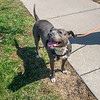 """210407  Pet of the Week<br /> James Neiss/staff photographer <br /> Sanborn, NY - You can expect a tail wagging a hundred miles an hour and a big doggie smile from Heather, 5, when you visit her at the SPCA of Niagara. As the newspaper Pet of the Week, his adoption fee is half off. <br /> <br /> Contact the SPCA at (716) 731-4368 or  <a href=""""http://www.niagaraspca.org"""">http://www.niagaraspca.org</a> for more information on how you can give a cat or dog their forever home"""
