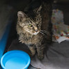 """210922  Pet of the Week<br /> James Neiss/staff photographer <br /> Sanborn, NY - Tiger is a 16 year old kitty that's looking for his forever home. As the newspaper Pet of the Week, the adoption fee is half off. <br /> <br /> Contact the SPCA at (716) 731-4368 or  <a href=""""http://www.niagaraspca.org"""">http://www.niagaraspca.org</a> for more information on how you can give a cat or dog their forever home."""