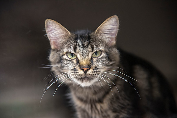 210915  Pet of the Week James Neiss/staff photographer  Sanborn, NY - Autumn is a lovable kitty, about 2 years old, that's looking for her forever home. As the newspaper Pet of the Week, the adoption fee is half off.   Contact the SPCA at (716) 731-4368 or www.niagaraspca.org for more information on how you can give a cat or dog their forever home.
