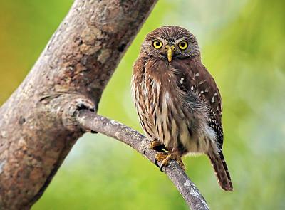 DA115,DN,Costa Rican Pygmy Owl