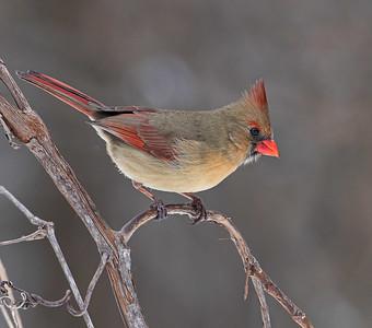 DA054,DN,Cardinal_approaching_feeder