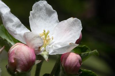 DA111,-DP Apple Blossom
