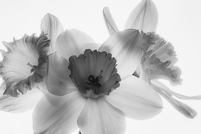 DA111,DB,Daffodils