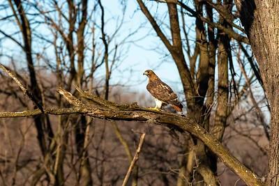 DA040,DN,Red-tailed Hawk on Backyard Branch-2