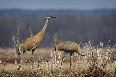 DA099,DN,Sandhill Cranes feeding on a dyke
