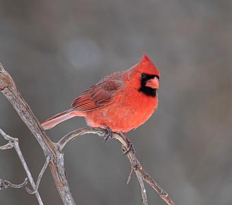 DA054,DN,Cardinal_0n_Grapevine