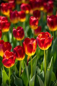DA111,DP, Glowing Tulips