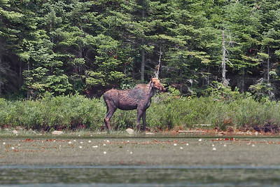 Our first moose at the 2021 Algonquin Moose Safari (c) 2021 Jim Chung