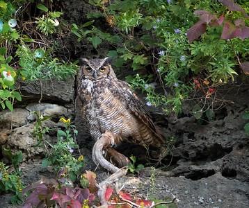 DA054,DN,Great Horned Owls Favorite Perch