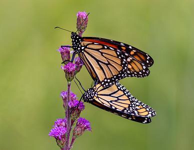 DA054,DP,Pair of Monarchs