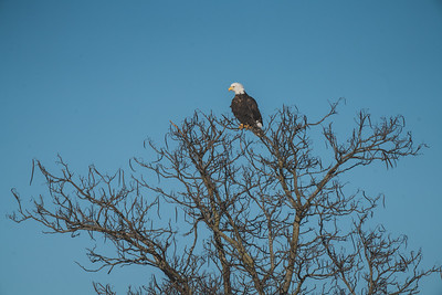 A bald eagle flies over the Wabash River on January 22, 2021
