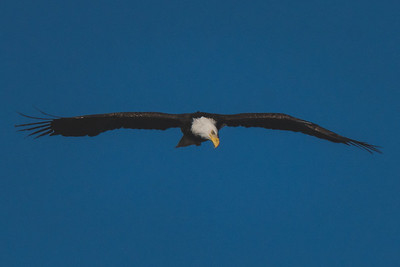 A bald eagle flies over the Wabash River on January 21, 2021