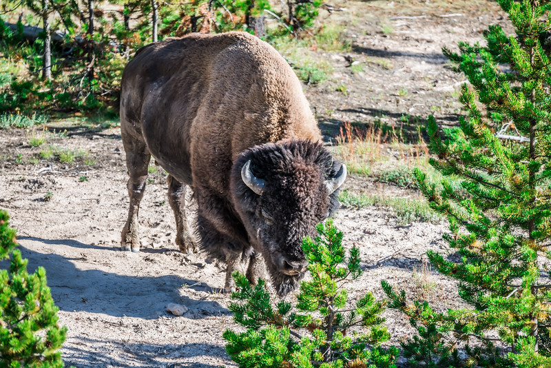 american bison buffalo in yellowstone national park