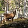 November - Red Deer