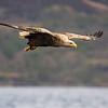 September White-Tailed Sea Eagle