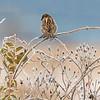 February - House Sparrow