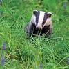 July - Badger