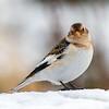 January - Snow Bunting