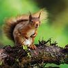 June - Red Squirrel