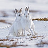 March - Mountain Hares