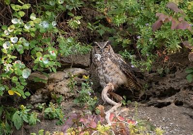 DA054,DN,Great Horned Owl's Favorite Perch