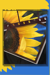DA016,DA,sunflower2005a