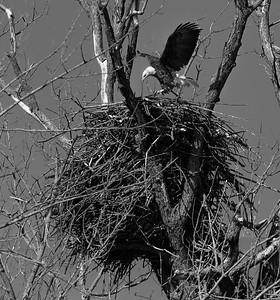 DA054,DB,Eagle Dwarfed by Nest
