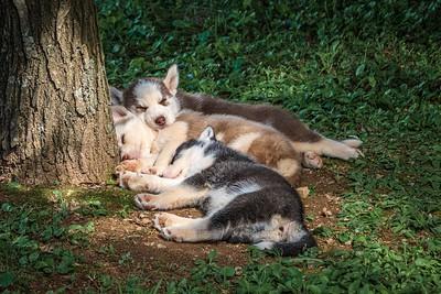 DA054,DP,Worn Out Husky Pups
