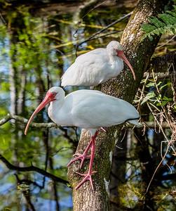DA077,DN,White Ibis in the swamp (1 of 1)