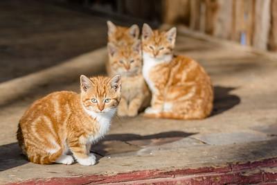 DA077,DJ,Barn Kittens, (1 of 1)