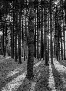 DA022,DB,evening light in the tall pine forest