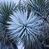 Yucca glistens during Joshua Tree Snow Storm