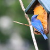 Blue Bird eating suet