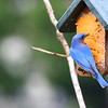 Male Blue Bird eating suet