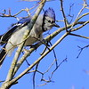 Blue Jay against blue sky