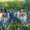 BW & Gracie Blue Bonnets 2021