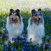 BW & Gracie Blue Bonnets 2021-3