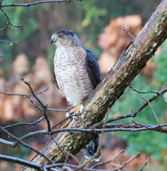 Coppers Hawk stoping by my window