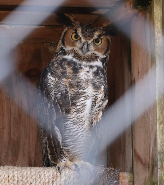 Great Horned Owl in Captivity