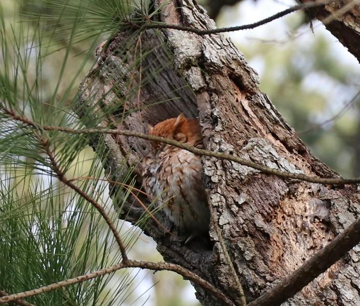 Rusty, the famous screech owl