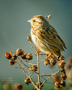 Song sparrow in the morning