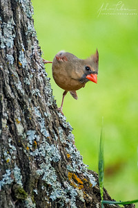 Northern cardinal scouting for food