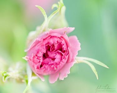 Dreamy blooming rose