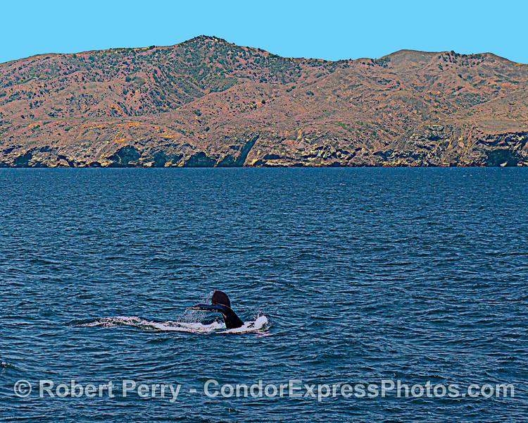 Megaptera novaeangliae & Santa Cruz Island 2021 06-22 SB Channel-b-029