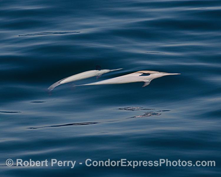 Delphinus capensis upside down feeding 2021 06-22 SB Channel-d-006