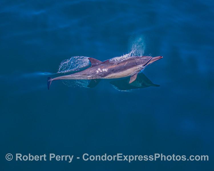 Delphinus capensis 2021 06-22 SB Channel-b-018