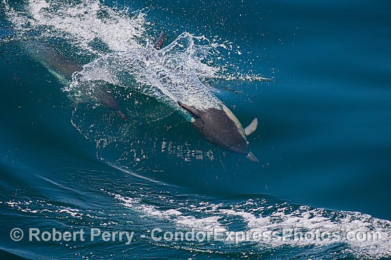 Delphinus capensis 2021 06-22 SB Channel-093