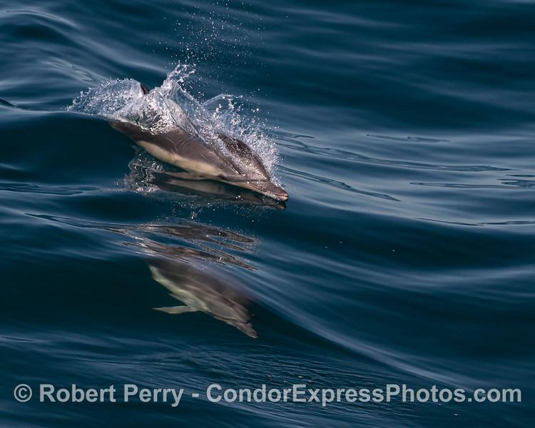 Delphinus capensis 2 surfing 2021 06-22 SB Channel-216