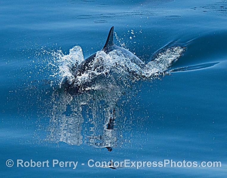 Delphinus capensis 2021 06-22 SB Channel-011